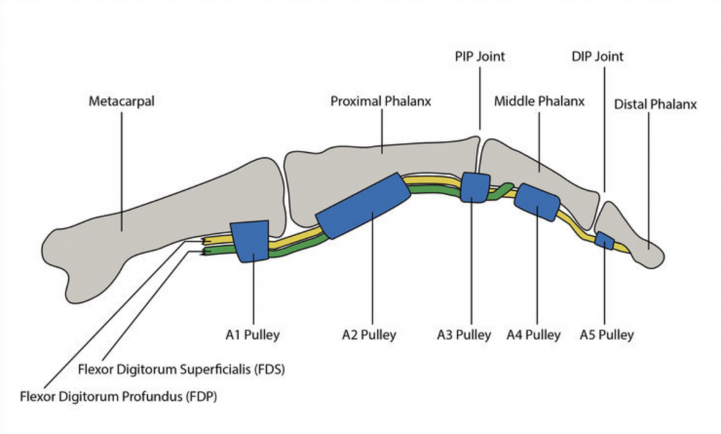 Anatomy Of Finger Tendons And Pulleys